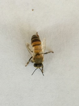 An image of a single honey bee.