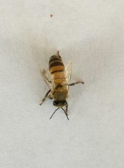 An image of a single honey bee.