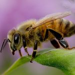 "Bees Part II: The Africanized Honey Bee (aka, ""Killer Bee"")"