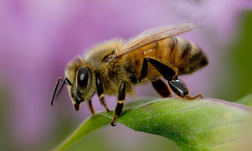 An image of a single Africanized Honey Bee on a plant leaf