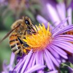 The Western Honey Bee and You