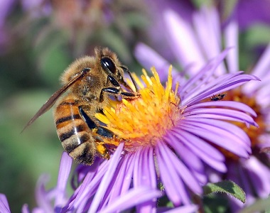 An image of a western honey bee pollinating a plant
