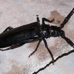 A close-up image of a Palo Verde Beetle