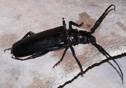 A close-up image of a Palo Verde Beetle
