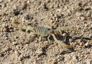 An image of a desert scorpion among dirt and rocks.