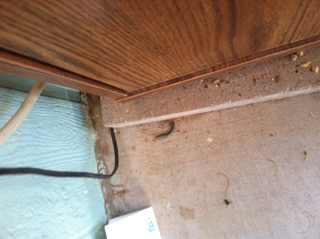 A picture of a Common Desert Centipede found crawling on the floor of one of the utility room of one of our customers.