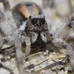 Wolf Spiders - The Bark is Worse Than The Bite (…but they do bite!)