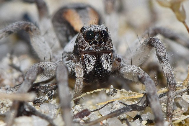 A close-up picture of a wolf spider on the ground